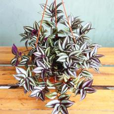 gardenzebrinapendulaseed, Beautiful, Home Supplies, flowerpotsplant