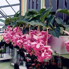 Bonsai, gardenlotuslanternseed, pottedlotuslanternseed, flowerpotsplant