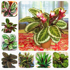 Beautiful, Bonsai, Home Supplies, balconycalatheaseed
