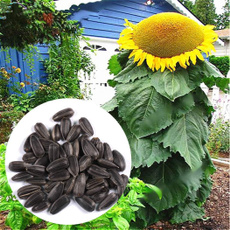 Beautiful, sunflowerseed, flowerpotsplant, Garden
