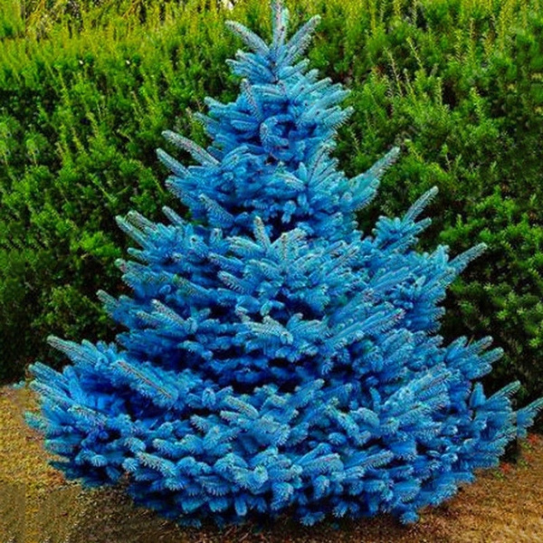 Christmas Tree Seeds.100 Rare Colorado Blue Spruce Seeds Picea Pungens Glauca Good For Growing In Pots Christmas Tree Seed