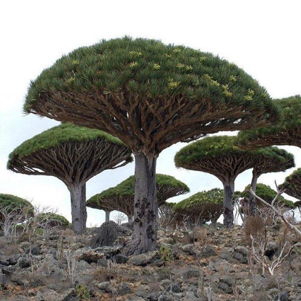 10 Seeds Dracaena draco Dragons Blood Tree