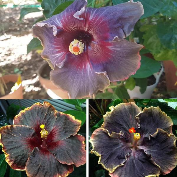 Black Rainbow 20pcs Easy Plant Black Hibiscus Seeds Giant Flower Tropical