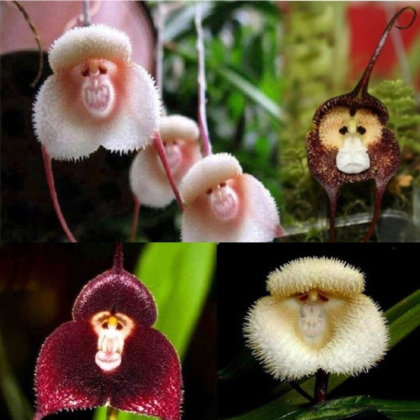 Rare Exotic Monkey Face Orchids Seeds Green Plant Garden Bonsai Fragrant Flower