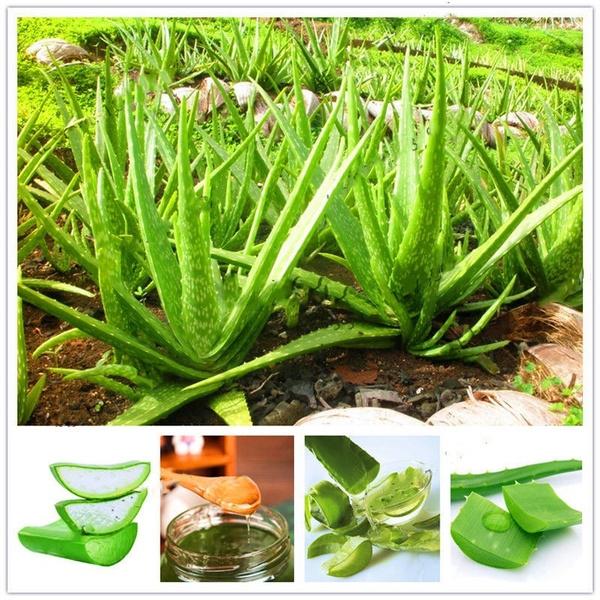 aloeseed, Bonsai, Plants, aloevera
