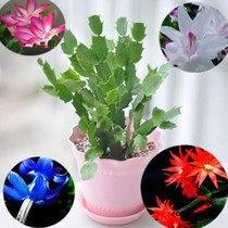 epiphyllum, Plants, Flowers, Indoor