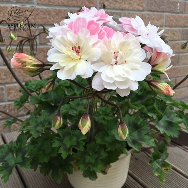 Bellfarm Bonsai Geranium Pink White Double Petals Perennial Big