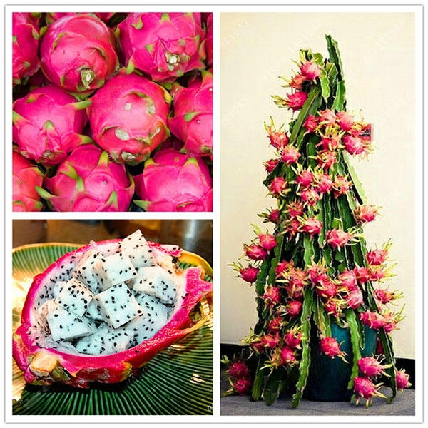 40 Pcs/Pack Pitaya Seeds Red White Dragon Fruit Tree Seed for Outdoor  Courtyard Plants