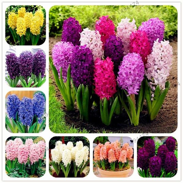 hyacinth, Bonsai, bonsaiseed, perennial