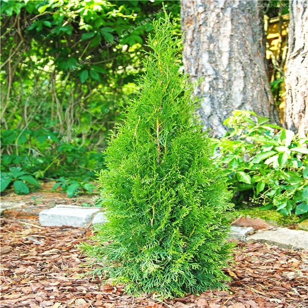 50 Pcs Chinese Platycladus Thuja Orientalis Plant Bonsai For Home