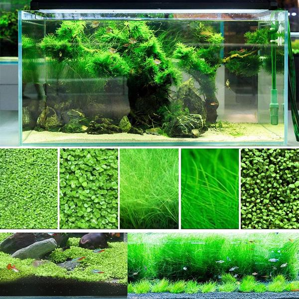 10g Aquarium Plants Seeds Mini Dwarf Pearl Plants Aquarium Grass