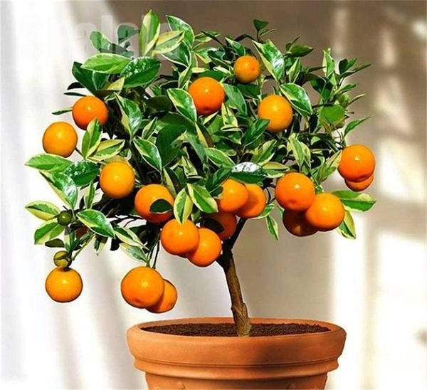 Bonsai, Plants, Garden, Orange