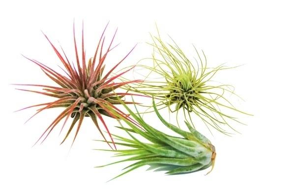 Plants, tillandsia, Home Decor, Home