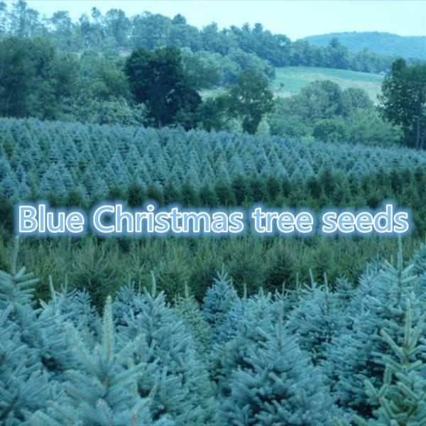 Blues, Colorado, rareplantseed, Tree