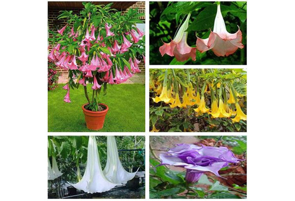 100 Seeds Pack  Bonsai Tree Seed Dwarf Brugmansia Suaveolens Flamenco Angel/'S