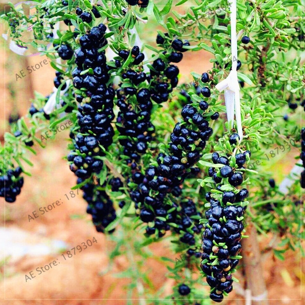 100pcs Pack Black Goji Berry Seeds Wolfberry Fruit Bonsai Seeds