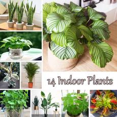 Bonsai, chlorophytumseed, Plants, Indoor