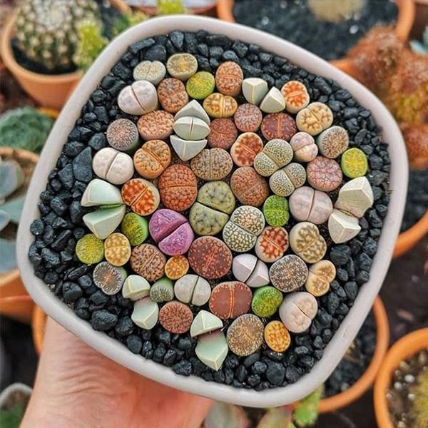 500pcs Living Stone Seeds Split Rock Seeds Lithops Seeds Easy To