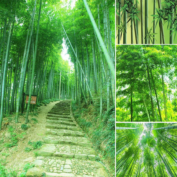 200pcs Moso Bamboo Hardy Rare Seeds Plant Pubescens Phyllostachys