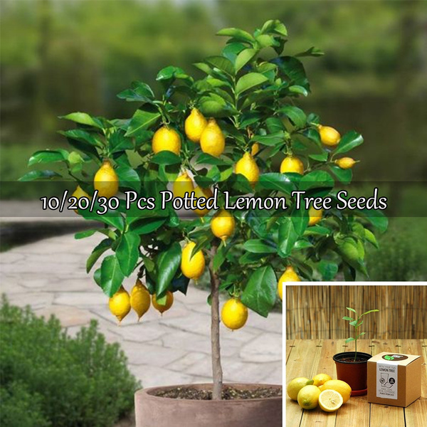 30pcs Lemon Tree Seeds Citrus Bonsai decor House Garden Balcony Bonsai Fruit