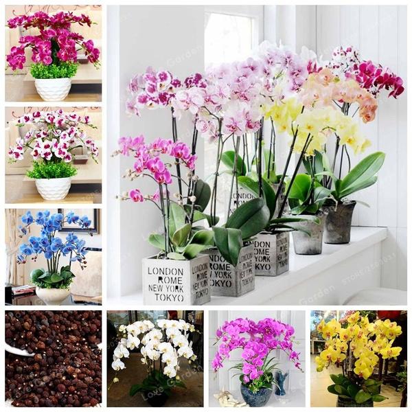 100pcs Phalaenopsis Orchid Seeds Bonsai Rare Orchid Flower Seeds Indoor Seeds