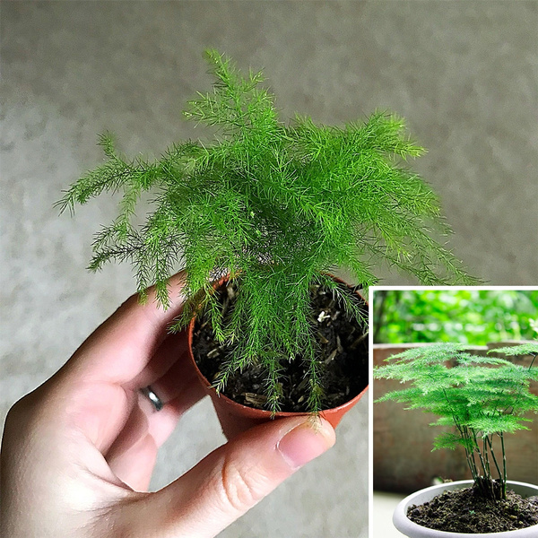 5 10 15 Pcs Asparagus Fern Seeds Asparagus Setaceus Mini Office Bonsai Small Potted Plants Cloud Bamboo Seeds Geek
