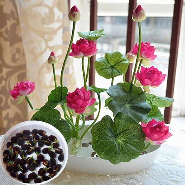 Bonsai, Home & Kitchen, Plants, waterlilyseed