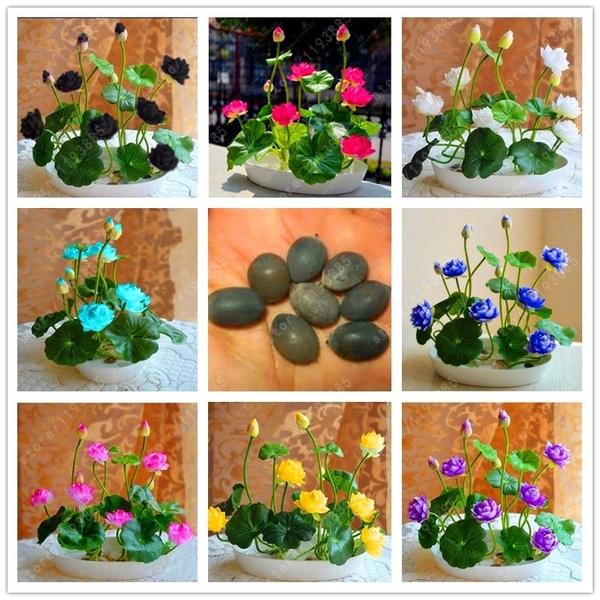 Bonsai, plantsseed, waterplantseed, lotusseed