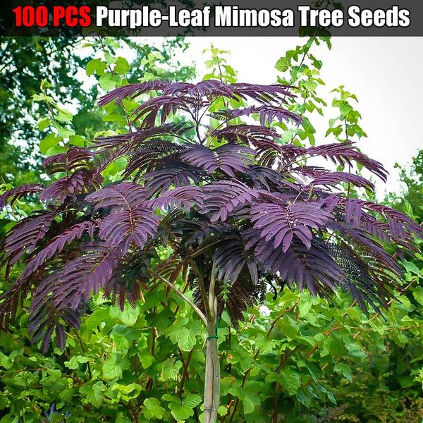 100 Pcs Purple Leaf Mimosa Tree Seeds Outdoor Plant Chocolate