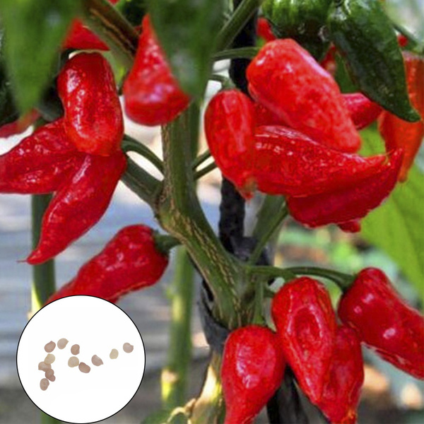 Hottest Pepper Seeds Chili Bhut Jolokia Indian Ghost 10 pcs 1000000Scoville Heat