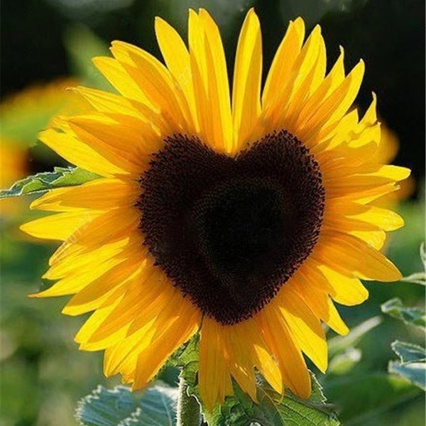 sunflowerseed, yardsunflower, fragrantbloom, Garden