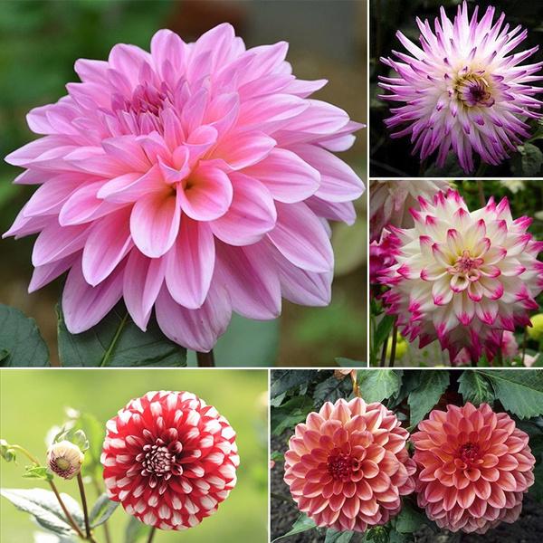 Dahlia Bonsai Rare Flower Beautiful Perennial Indoor Or Outdoor