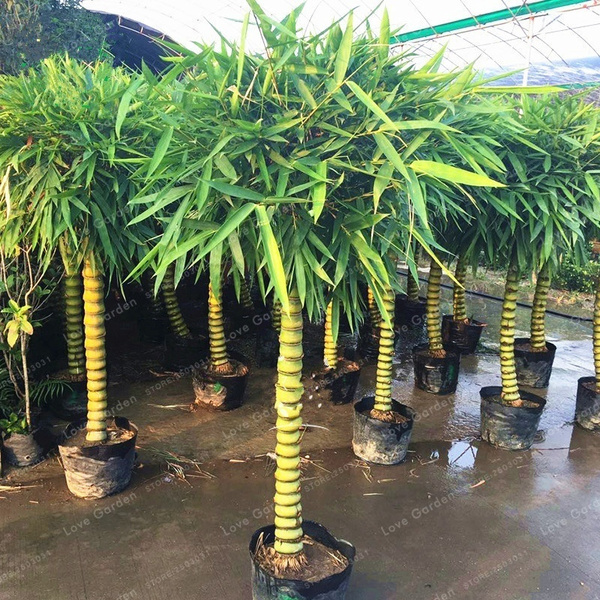 Rare Bamboo Seeds Fou Du Bamboo Plant Seeds For Home Garden Decor