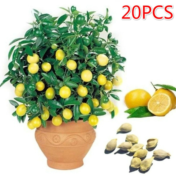 Edible Fruit Meyer Lemon Bonsai Exotic Citrus Bonsai Lemon Tree