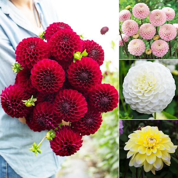 2019 Cute Rare Dahlia Flowers Dahlia Seeds Dahlia Flowers