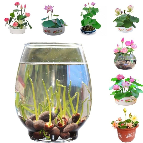 Water Lily Seed 20pcs Pack Bowl Lotus Bonsai Seeds Aquatic Plants Flower Home Garden Office Decoration Easy To Plant Wish
