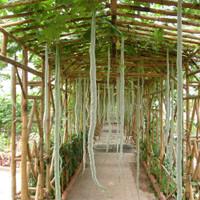 Backyard Garden Seeds Ocimum Basilicum Seeds 750 Seed//Pack Thai Sweet Basil Seeds
