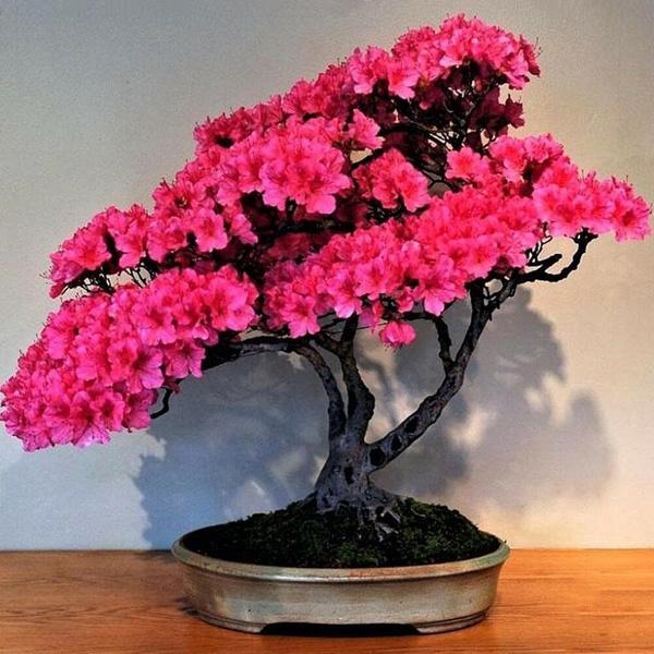 Bonsai, Plants, Flowers, cherryblossom