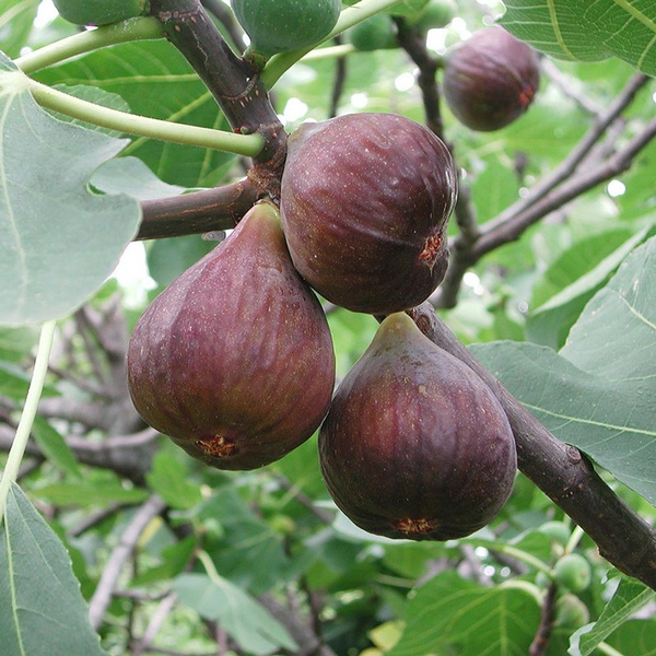 Tropical Fig Seeds Fig Tree Bonsai Fruit Seed Garden Potted Plants Seed DIY  Home Garden