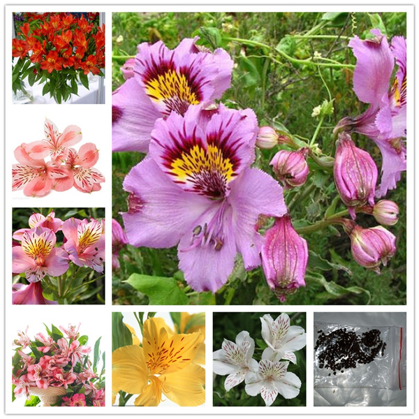 100pcs Bag Rare Mixed Color Perennial Herb Floral Alstroemeria Alstroemeria Aurantiaca Peruvian Lily Seed Garden Balcony Chile Lily Potted Plant Flower Planting Seeds Wish