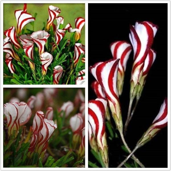 Multifarious Ornamental Plants 100 Mixed Cactus Bonsai Attractive Impressive  10
