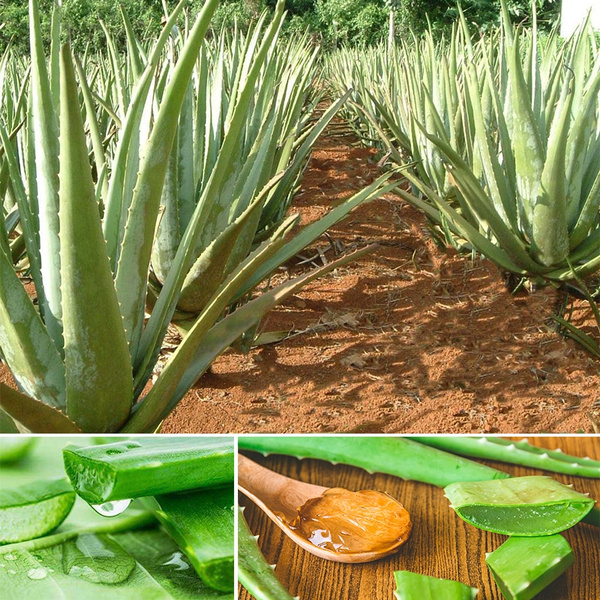Aloe Cacti Agave Bonsai Seeds Rare Succulent Plants Bonsai Plant