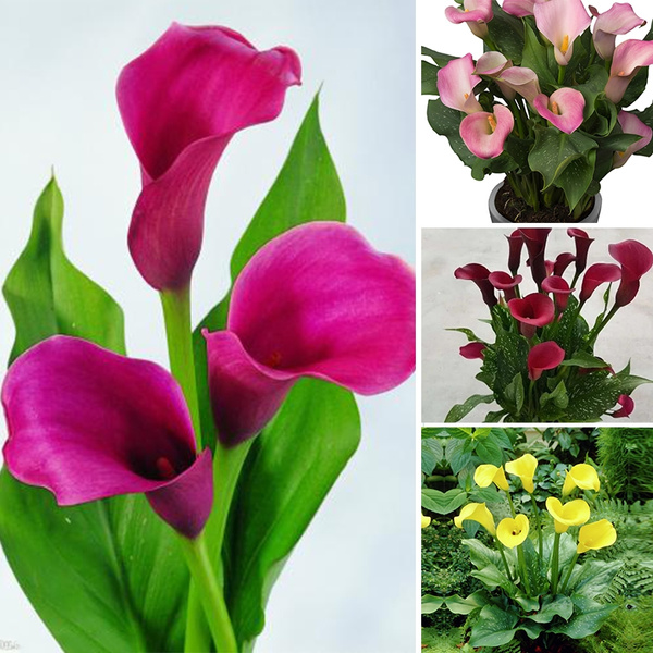 Calla Lily Seeds Colorful Calla Lily Potted Flowers On Indoor