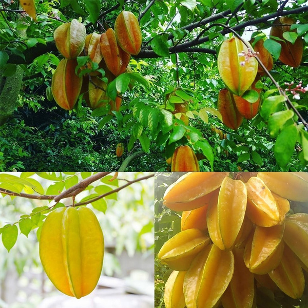 50 Pcs Potted Juicy Carambola Tree Seeds Bonsai Star Fruit Seeds For Home Garden Decor Wish