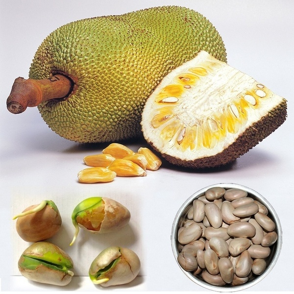 jackfruit, Home & Kitchen, Plants, treeforgarden