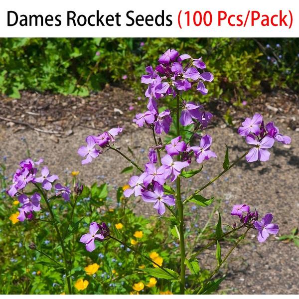 Dames Rocket Flower  Seeds