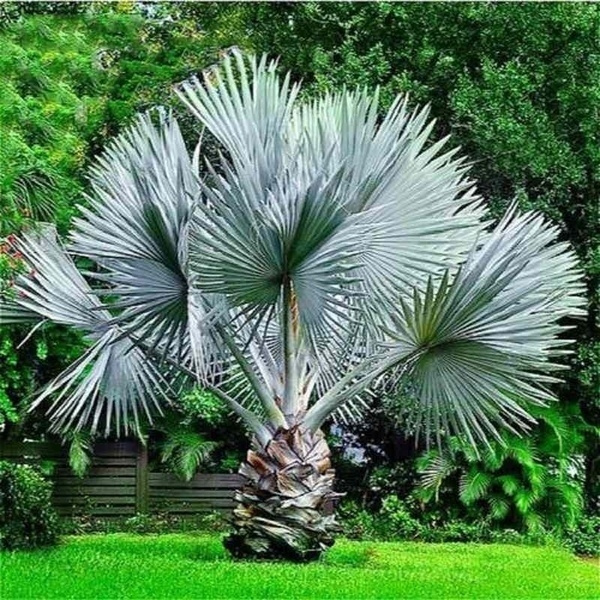 20pcs Rare Perennial Plant Palm Seeds Tropical Cycas Seed Garden