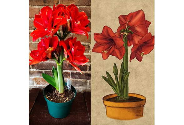 100Pcs Amaryllis Bulbs Hippeastrum Seeds Balcony Garden Decor Flower Plants Pour