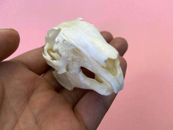 Natural Bone Quality A Cottontail Rabbit Skull specimen Animal bone specimen