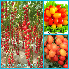 tomato, rainbow, Plants, Colorful